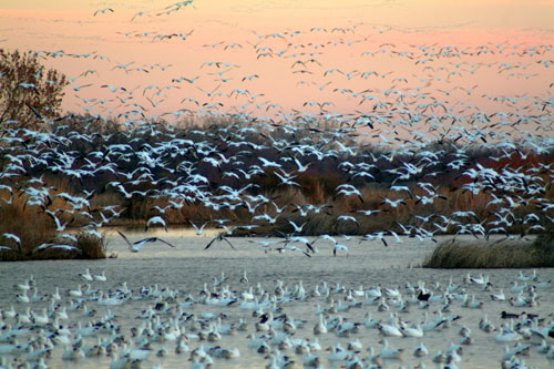 Fly-out of snow geese at the Bosque